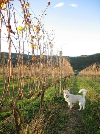 Benson in the Autumn Syrah vineyards